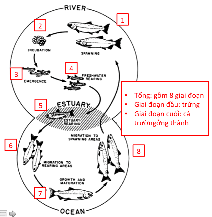ielts-writing-task-1-process-life-cycle-of-a-salmon-2